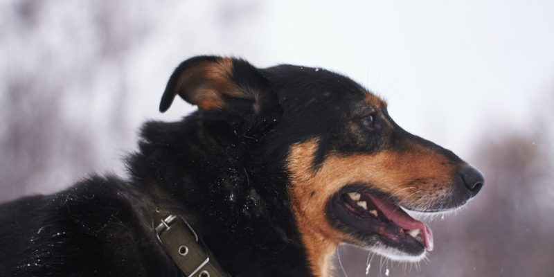 KONG Dog Collar Review – Is it the Best Dog Collar